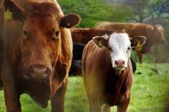 Vacas gruñonas Imagen de archivo libre de regalías