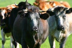 Vacas holandesas Fotografia de Stock