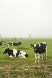 Vacas holandesas imagem de stock