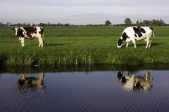 Vacas holandesas Imagens de Stock
