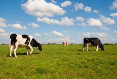 Vacas holandesas Imagen de archivo libre de regalías
