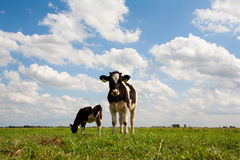 Vacas holandesas Imágenes de archivo libres de regalías