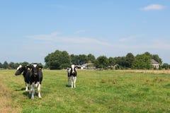 Vacas holandesas Foto de archivo libre de regalías