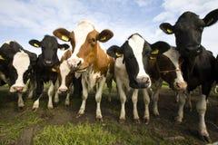 Vacas holandesas Foto de Stock Royalty Free