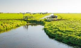 Vacas holandesas em uma paisagem do po'lder Fotografia de Stock Royalty Free