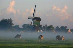 Vacas holandesas en niebla de la mañana Imágenes de archivo libres de regalías