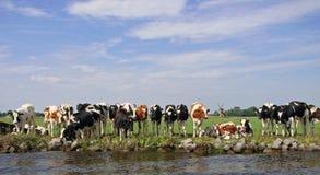 Vacas holandesas en sol de la tarde foto de archivo