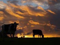Vacas holandesas no sol da noite Imagem de Stock Royalty Free