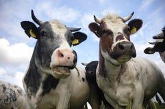 Vacas holandesas típicas Imágenes de archivo libres de regalías