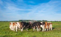 Vacas holandesas todavía atadas después de ordeñar Foto de archivo libre de regalías