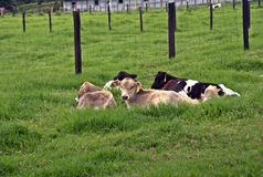 Vacas I Fotos de archivo