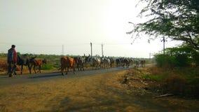 Vacas indias imagen de archivo