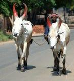 Vacas indias Imagen de archivo libre de regalías