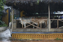 Vacas indias Fotografía de archivo libre de regalías