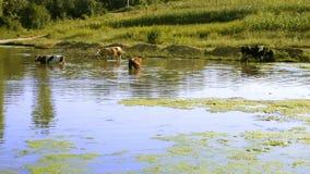 Vacas inscritas en la charca Foto de archivo libre de regalías
