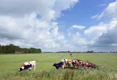 Vacas jovenes blancas negras y rojas en prado en la provincia holandesa del franco Imágenes de archivo libres de regalías