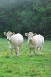 Vacas jovenes de Charolais Fotos de archivo