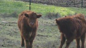 Vacas jovenes de la montaña que se colocan alrededor en un campo metrajes