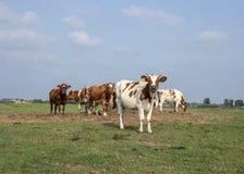 Vacas jovenes, novillas, con los cuernos uniéndose en un prado debajo de un cielo azul en el horizonte imágenes de archivo libres de regalías