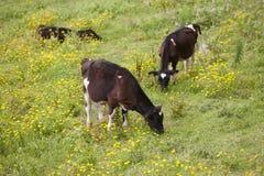 Vacas jovenes registradoas que pastan en el campo azores Portug Foto de archivo