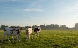 Vacas jovenes temprano por la mañana del verano Fotografía de archivo libre de regalías