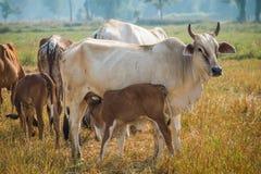 Vacas lactantes del becerro en pasto Fotografía de archivo