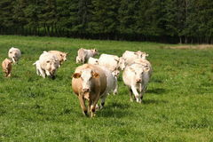 Vacas lecheras Imagen de archivo libre de regalías