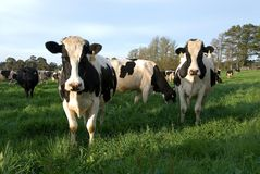Vacas lecheras Imágenes de archivo libres de regalías