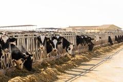 Vacas lecheras de Holstein en plumas de alimentación al aire libre en Tejas Foto de archivo