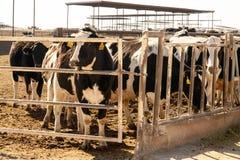 Vacas lecheras de Holstein en plumas de alimentación al aire libre en Tejas Foto de archivo libre de regalías