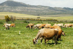 Vacas lecheras de Jersey del rango libre en una granja Foto de archivo libre de regalías