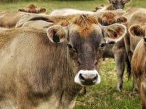 Vacas lecheras del jersey, ganado Imagenes de archivo