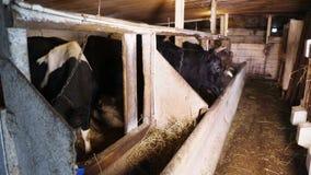 Vacas lecheras en la parada almacen de metraje de vídeo