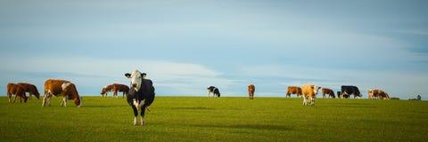 Vacas lecheras en pasto imagenes de archivo