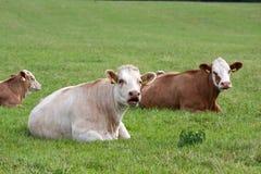 Vacas lecheras en pasto Imágenes de archivo libres de regalías