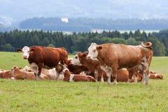 Vacas lecheras en pasto Fotografía de archivo