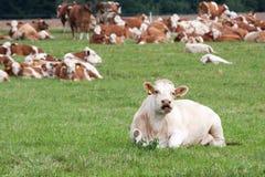 Vacas lecheras en pasto Foto de archivo libre de regalías