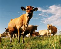 Vacas lecheras en prado Imágenes de archivo libres de regalías