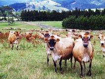 Vacas lecheras en un paisaje hermoso imágenes de archivo libres de regalías