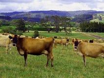 Vacas lecheras en un paisaje hermoso fotografía de archivo