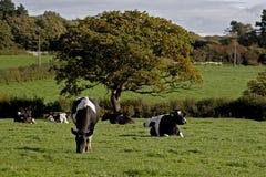 Vacas lecheras en un prado Fotos de archivo libres de regalías