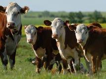 Vacas lecheras en una manada Imagen de archivo libre de regalías