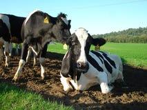 Vacas lecheras en Vermont Foto de archivo libre de regalías