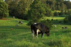 Vacas lecheras que pastan Imagen de archivo libre de regalías