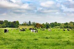 Vacas lecheras que pastan en el campo de hierba abierto de la granja Imagenes de archivo