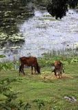 Vacas livres Foto de Stock
