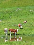 Vacas livres nos moutains Fotografia de Stock