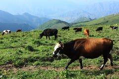 vacas marrones y negras Fotografía de archivo libre de regalías