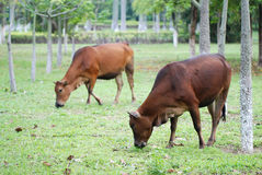 vacas marrons no rancho Imagem de Stock Royalty Free