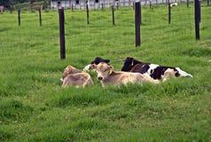 Vacas mim Fotos de Stock